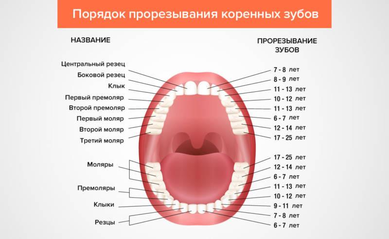 Схема прорезания коренных зубов