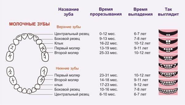 Схема роста молочных зубов